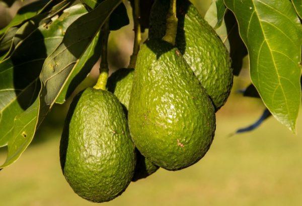 Avokádo, plod hruškovca amerického, je ovocie alebo zelenina?
